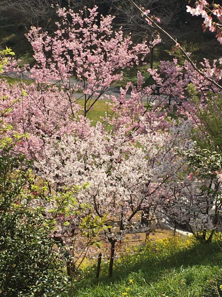 フラワーパーク浜松の大漁桜