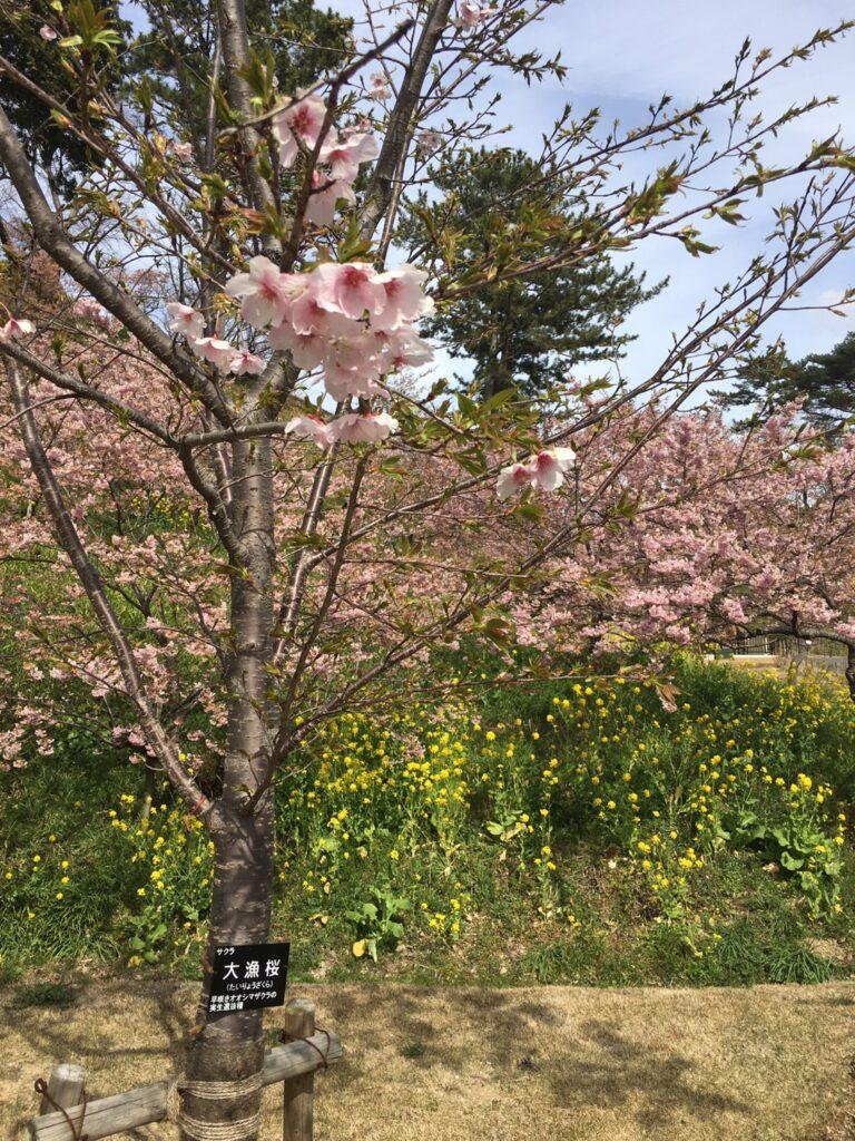 フラワーパークの大漁桜