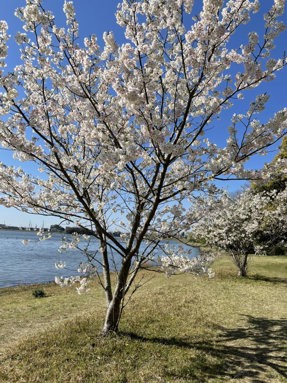 佐鳴湖公園の桜:開花状況2021年3月23日