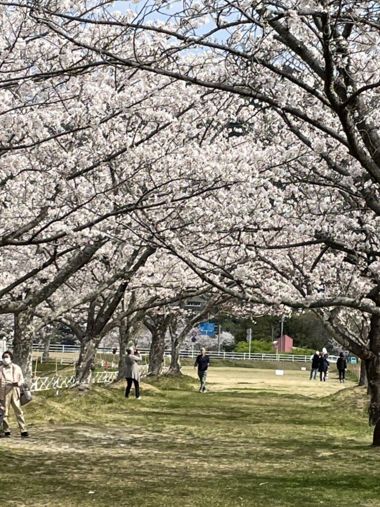 船明ダムの桜並木