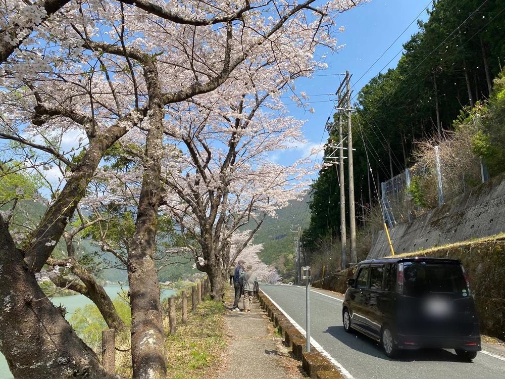 秋葉ダム千本桜:2021年