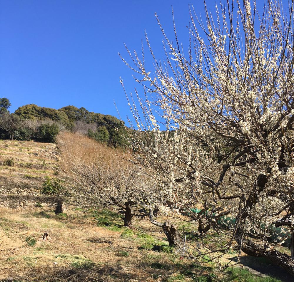 長楽寺の梅園:開花状況