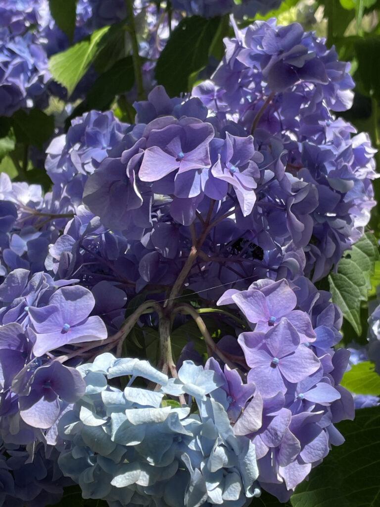 浜松フラワーパークの紫陽花