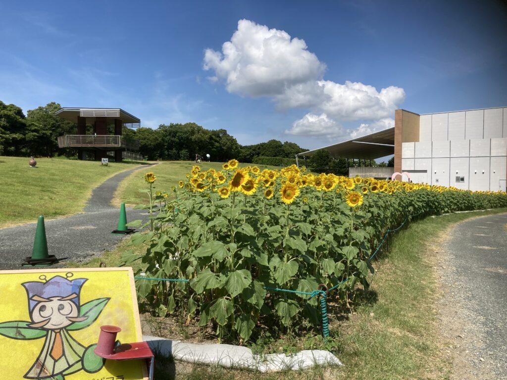 浜名湖ガーデンパークのひまわり畑